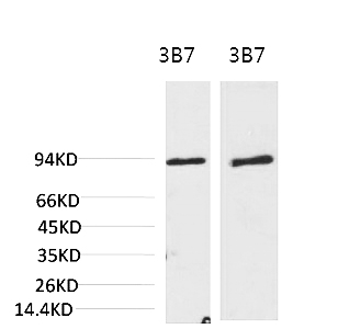 Fig.1. Western blot analysis of 1) 3T3, 2) Rat LiverTissue with PI3 Kinase P85α Mouse mAb diluted at 1:2000.