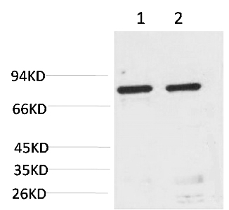 Fig.1. Western blot analysis of 1) Hela, 2) Rat LiverTissue with GRP78/Bip Mouse mAb diluted at 1:2000.