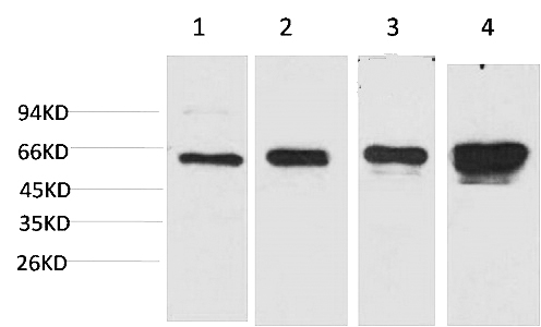Fig.1. Western blot analysis of 1) Hela, 2) 293T, 3) 3T3, 4) PC12 with AMPK a1 Mouse mAb diluted at 1:2000.