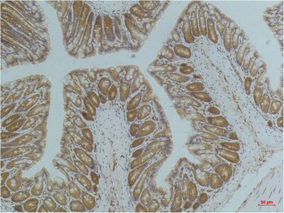 Fig.2. Immunohistochemical analysis of paraffin-embedded Mouse ColonTissue using AMPK a1 Mouse mAb diluted at 1:200.