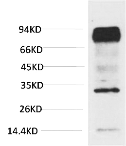 Fig.1. Western blot analysis of Mouse Brain Tissue with HIF-1 β/ARNT Mouse mAb diluted at 1:2000.