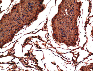 Fig.1. Immunohistochemical analysis of paraffin-embedded Rat Testis Tissue using Bax Mouse mAb diluted at 1:200.