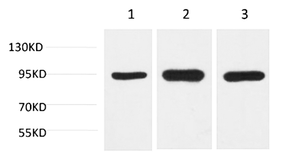 Fig.1. Western blot analysis of 1) Hela, 2) Mouse Brain Tissue, 3) Rat Brain Tissue with HSP90 a Mouse mAb diluted at 1:2000.