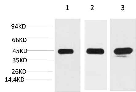 Fig. Western blot analysis of 1) Hela, 2) 3T3, 3) Rat Brain Tissue with MEK2 Mouse mAb diluted at 1:2000.