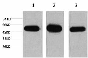 Fig.1. Western blot analysis of 1) Hela, 2) mouse brain tissue, 3) rat brain tissue, diluted at 1:5000.