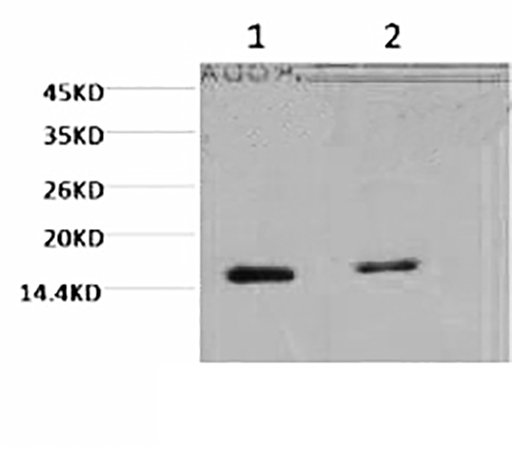 Fig.1. Western blot analysis of Hela, diluted at 1) 1:2000, 2) 1:5000.