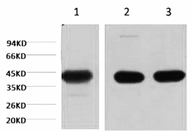 Fig.1. Western blot analysis of 1) Hela, 2) mouse brain tissue, 3) rat brain tissue, diluted at 1:20000.