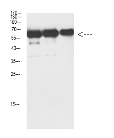 Fig.4. Western Blot analysis of Luciferase protein using antibody diluted at 1:1000.