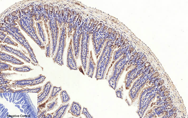 Fig.2. Immunohistochemical analysis of paraffin-embedded mouse colon tissue. 1, Cleaved-Caspase-3 p17 (D175) 多克隆 Antibody was diluted at 1:200 (4°C, overnight). 2, Sodium citrate pH 6.0 was used for antibody retrieva l (>98°C, 20min). 3, secondary antibody was diluted at 1:200 (room temperature, 30min). Negative control was used by secondary antibody only.