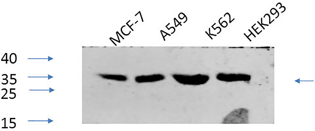 Fig.4. Western Blot analysis of MCF-7 (1, A549 (2, K562 (3, HEK293 (4, diluted at 1:1000.