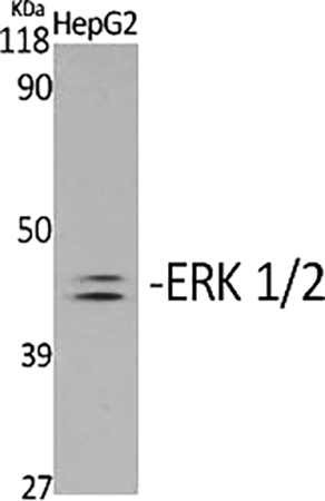 Fig.1. Western Blot analysis of various cells using Phospho-ERK 1/2 (Y204) 多克隆 Antibody diluted at 1:2000.