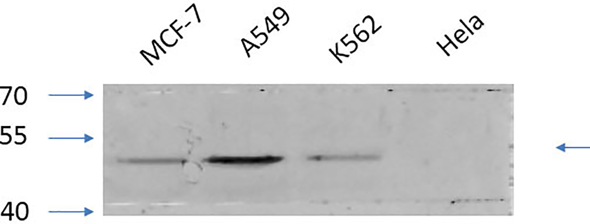 Fig.4. Western Blot analysis of MCF-7 (1, A549 (2, K562 (3, Hela (4, diluted at 1:2000.