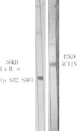 Fig.1. Western Blot analysis of various cells using Phospho-IκB-α (S32/S36) 多克隆 Antibody.