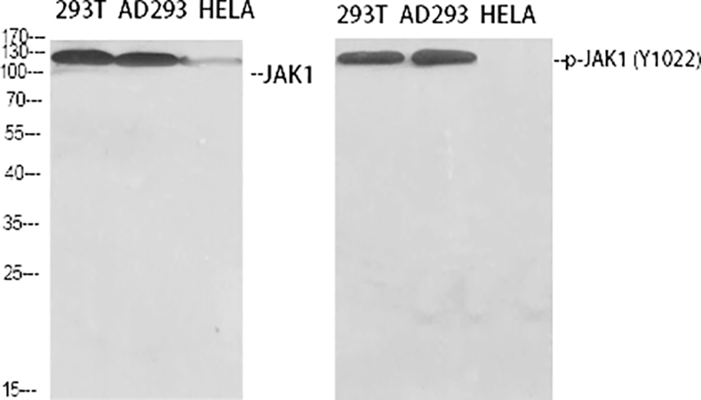 Fig.1. Western Blot analysis of 293T (1, AD293 (2, Hela (3, diluted at 1:500.