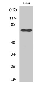 Fig. Western Blot analysis of various cells using Phospho-NFκB-p65 (S529) 多克隆 Antibody diluted at 1:2000.
