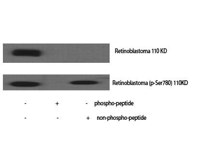Fig.1. Western Blot analysis of various cells using Phospho-Rb (S780) Polyclonal Antibody.