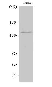 Fig.2. Western Blot analysis of HuvEc cells using Phospho-NOS3 (S1177) 多克隆 Antibody diluted at 1:1000.
