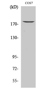 Fig. Western Blot analysis of various cells using Phospho-EGFR (T678) Polyclonal Antibody diluted at 1:1000.