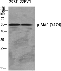 Fig.1. Western Blot analysis of various cells using Phospho-Akt1 (Y474) Polyclonal Antibody diluted at 1:1000.