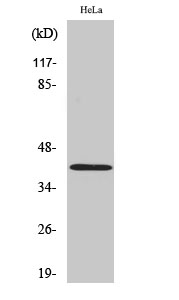 Fig.2. Western Blot analysis of HeLa cells using Actin 多克隆 Antibody diluted at 1:2000.