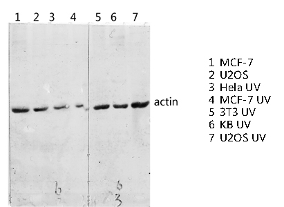 Fig.3. Western blot analysis of various lysis using Actin 多克隆 Antibody diluted at 1:2000. Secondary antibody was diluted at 1:20000.