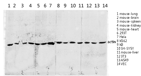 Fig.4. Western blot analysis of various lysis using Actin 多克隆 Antibody diluted at 1:2000. Secondary antibody was diluted at 1:20000.
