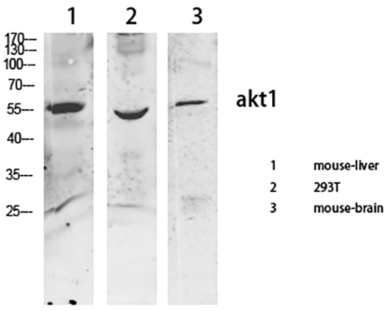 Fig.3. Western Blot analysis of various cells using primary antibody diluted at 1:1000 (4°C overnight).