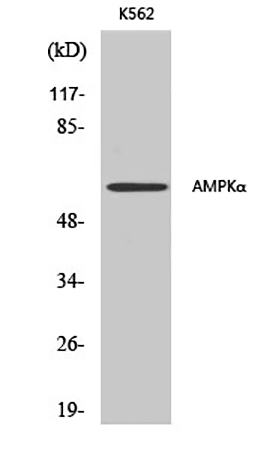 Fig.1. Western Blot analysis of various cells using AMPKα1/2 多克隆 Antibody diluted at 1:500.