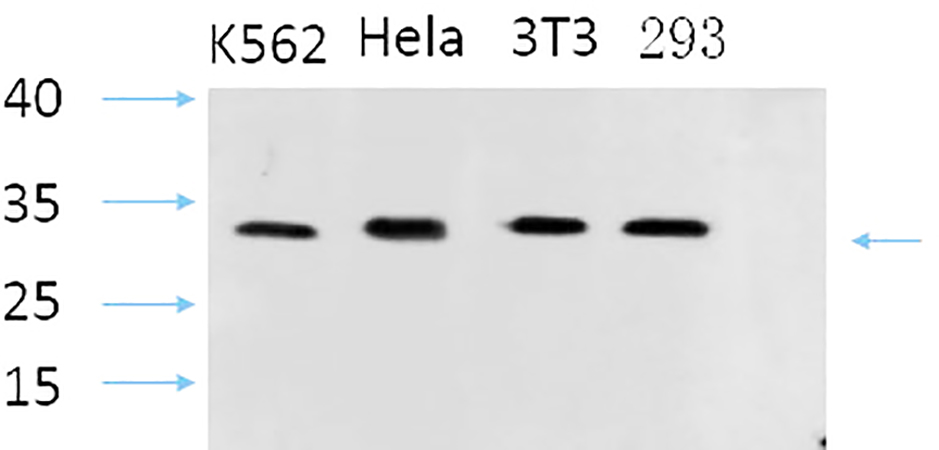 Fig.2. Western Blot analysis of K562(1, Hela(2, 3T3(3, 293(4, diluted at 1:1000.