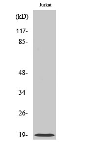 Fig. Western Blot analysis of various cells using Cofilin 多克隆 Antibody diluted at 1:500.