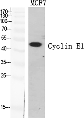 Fig.1. Western Blot analysis of various cells using Cyclin E1 多克隆 Antibody diluted at 1:500.