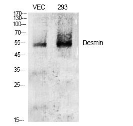 Fig.1. Western Blot analysis of various cells using Desmin 多克隆 Antibody diluted at 1:2000.