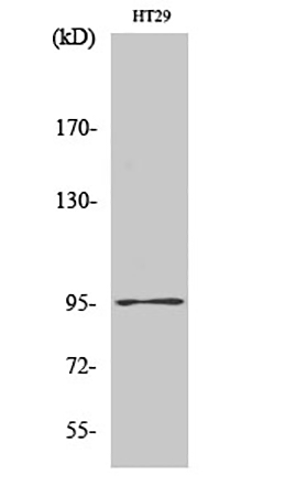 Fig.1. Western Blot analysis of various cells using Dnmt3b Polyclonal Antibody diluted at 1:1000.