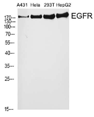 Fig.1. Western Blot analysis of A431 (1, Hela (2, 293T (3, HepG2 (4, diluted at 1:2000.