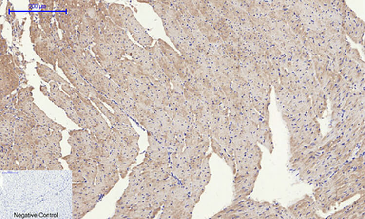 Fig.6. Immunohistochemical analysis of paraffin-embedded mouse heart tissue. 1, EGFR 多克隆 Antibody was diluted at 1:200 (4°C, overnight). 2, Sodium citrate pH 6.0 was used for antibody retrieval (>98°C, 20min). 3, secondary antibody was diluted at 1:200 (room temperature, 30min). Negative control was used by secondary antibody only.