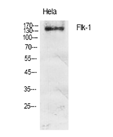 Fig.1. Western Blot analysis of various cells using Flk-1 多克隆 Antibody diluted at 1:1000.