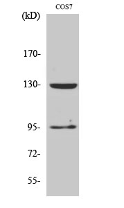 Fig. Western Blot analysis of various cells using GABAB R1 多克隆 Antibody diluted at 1:500.