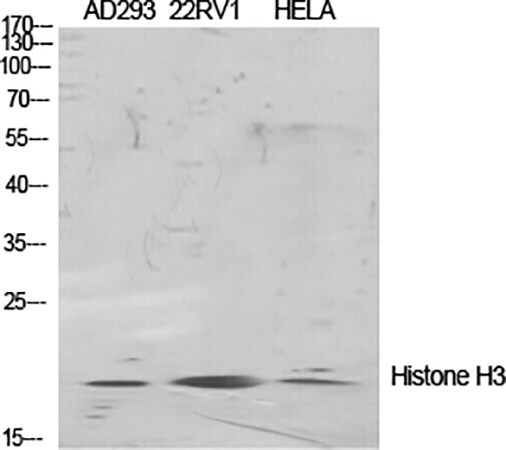 Fig.3. Western Blot analysis of AD293 (1, 22RV1 (2, Hela (3, diluted at 1:2000.
