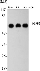 Fig.1. Western Blot analysis of various cells using HSP60 多克隆 Antibody diluted at 1:2000.