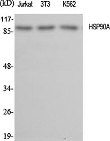 Fig.1. Western Blot analysis of Jurkat (1, 3T3 (2, K562 (3, diluted at 1:2000.