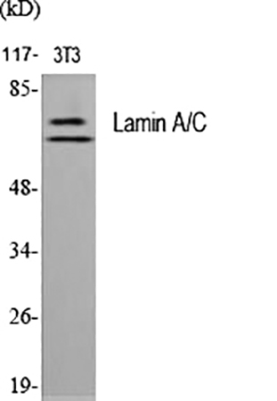 Fig.1. Western Blot analysis of various cells using Lamin A/C Polyclonal Antibody diluted at 1:2000.
