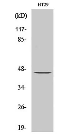 Fig.1. Western Blot analysis of various cells using MEK-1/2 Polyclonal Antibody diluted at 1:1000.