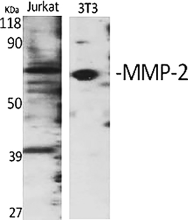 Fig.1. Western Blot analysis of Jurkat (1), 3T3 (2), diluted at 1:1000.