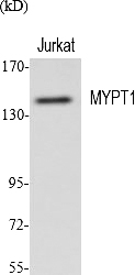 Fig.1. Western Blot analysis of various cells using MYPT1 多克隆 Antibody diluted at 1:2000.