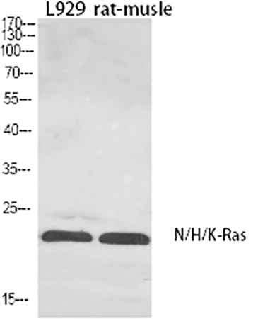 Fig.1. Western Blot analysis of L929 (1), Rat-musle (2), diluted at 1:1000.
