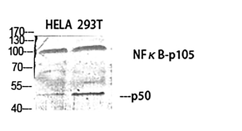 Fig.1. Western Blot analysis of Hela (1), 293T (2), diluted at 1:500.