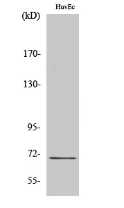 Fig.2. Western Blot analysis of HUVEC cells using Nrf2 多克隆 Antibody diluted at 1:1000.