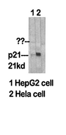 Fig.1. Western Blot analysis of HepG2 (1), Hela (2).