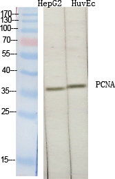 Fig.1. Western Blot analysis of various cells using PCNA Polyclonal Antibody diluted at 1:2000.