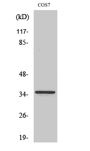 Fig.2. Western Blot analysis of COS7 cells using PCNA Polyclonal Antibody diluted at 1:2000.